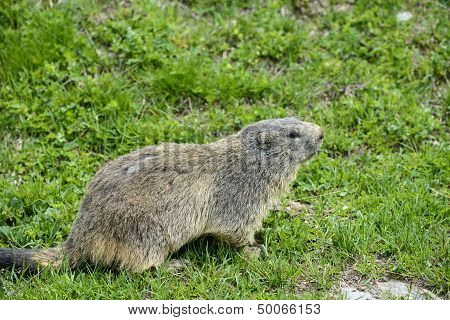 Colle Dell'agnello: Groundhog Closeup