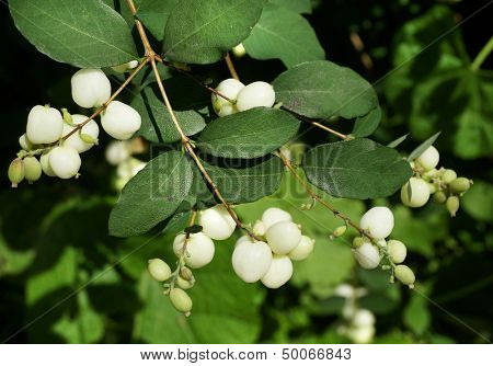 Snowberry White  Bush Close up