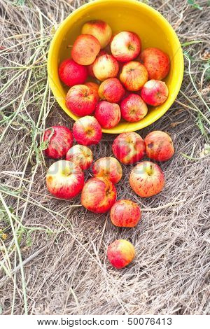 Scattered Small Red Apples