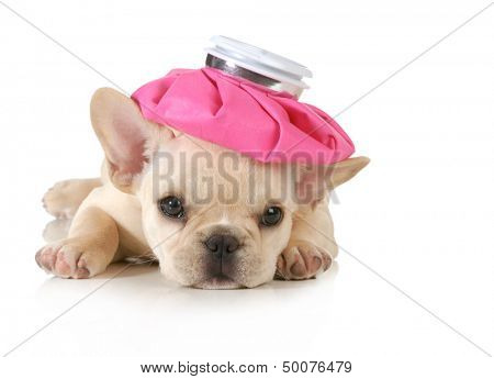 sick puppy - french bulldog with hot water bottle on head isolated on white background