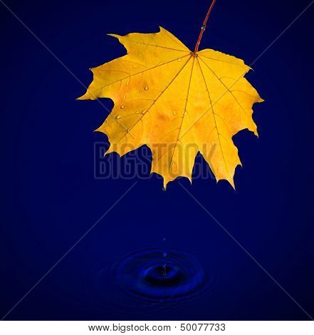 Maple Leaf With Water Drops On Blue Background