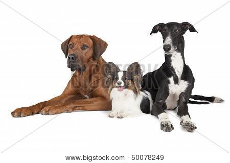 Three Dogs (rhodesian Ridgeback Papillon And Hort Greyhound)