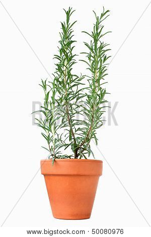 Potted Rosemary Plant