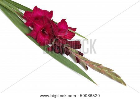 Maroon flower gladiolus isolated on white
