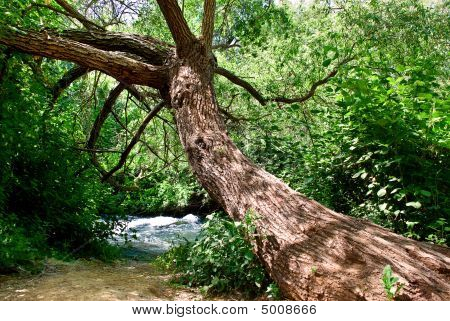 Drooped Tree
