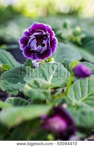 Purple Kalanchoe