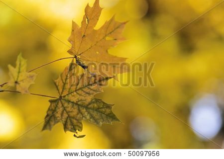 Yellow branch and leaves of maple tree at autumn time