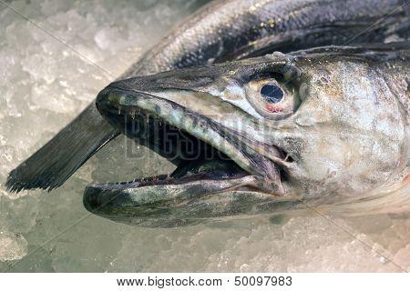 Close up of a Hake fish