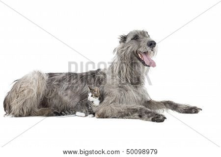 Dog (irish Wolfhound) With A Kitten