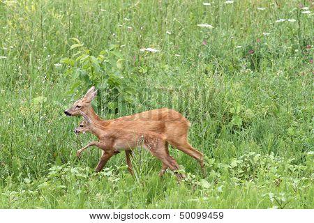 Deer Family Walking Among The Grass