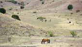 A Mustang Herd, Known As Wild Or Feral Horses