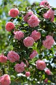 stock photo of climber plant  - Bush of pink climbing roses in a garden - JPG