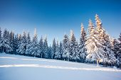 picture of blue spruce  - Fantastic winter landscape - JPG