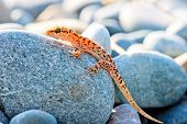 stock photo of lizard skin  - gekkonovaya young lizard basking in the sun while sitting on a big gray stone - JPG