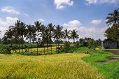 ripening paddy field and coconut trees in a rural village in Padang, West Sumatera, Indonesia.