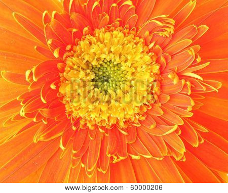 Orange daisy close up