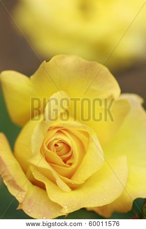 Close Up  Rose Flower