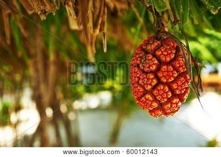 Screw Pine fruit, Pandanus tectorius or Pandanus odoratissimus