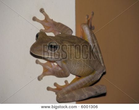 Tree frog on white brown background