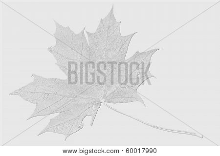 Clean Maple Leaf On A White Background