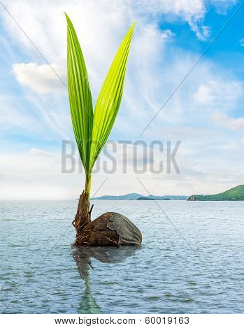 Coconut Bud Floating In The Sea