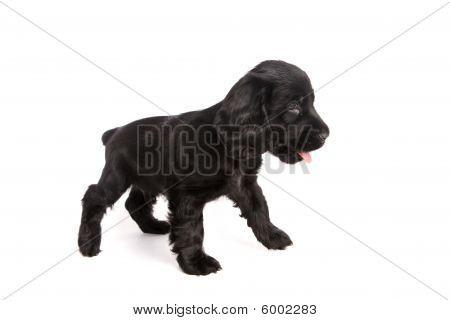 Cute Standing Cocker Spaniel Puppy