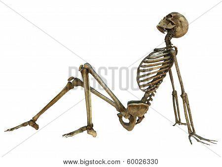 Human Skeleton