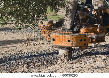 Vibrating machine in an olive tree