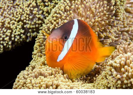 A beautiful orange clownfish rests in the protective tentacles of a sea anemone in the tropical sea of Fiji.