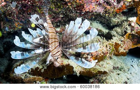 An endemic lionfish, only found in Fiji, extends its pectoral and dorsal fins in a protective stance.  The fin tips are poisonous and used to inject venom into a predator.