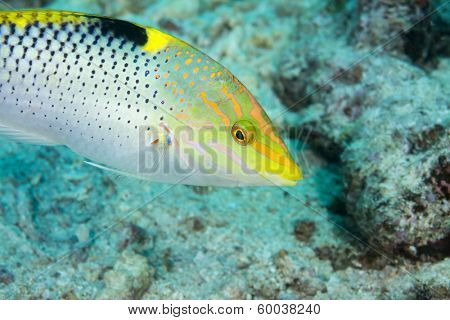 A beautiful vibrant triopical fish called a wrasse swims over a reef in Fiji. Focus is on the eye.