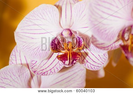 Close-up Pink Orchid