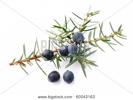 Juniper twig