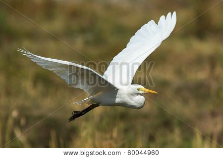 Intermediate Egret In Flight
