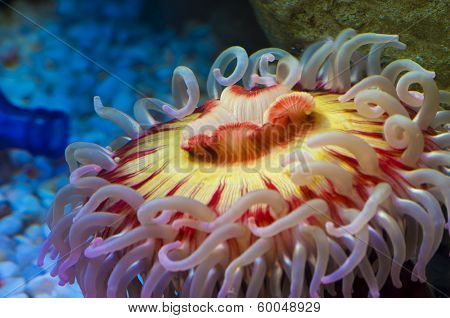 Fish Eating Anemone