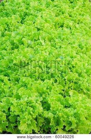 lettuce or Salad Leaves