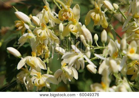 Moringa flowers and leaves