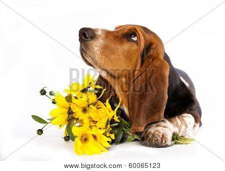 Basset Hound and yellow daisies