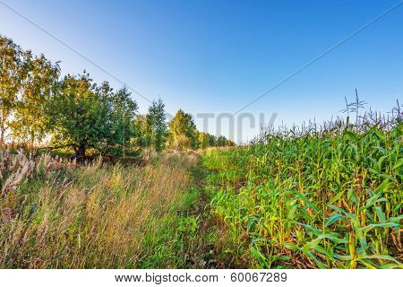 border of plantation of fodder corn and uncultivated field