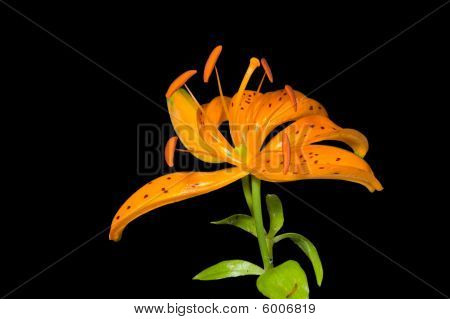 Flower Of Lily (lilium Distichum)