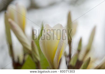 Beautiful white flower in thailand, Lan thom flower,Frangipani,Champa