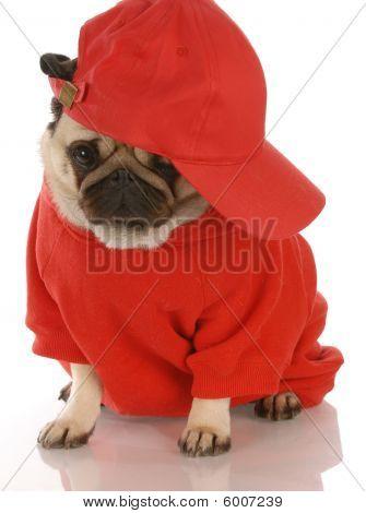 Pug Wearing Sports Hat