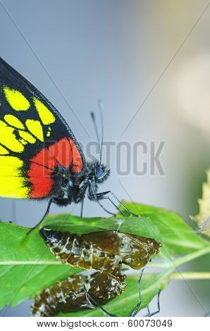 butterfly and pupa exuvia