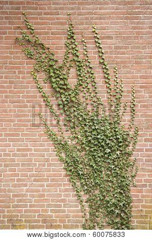 Hedera Climbing On Brick Wall