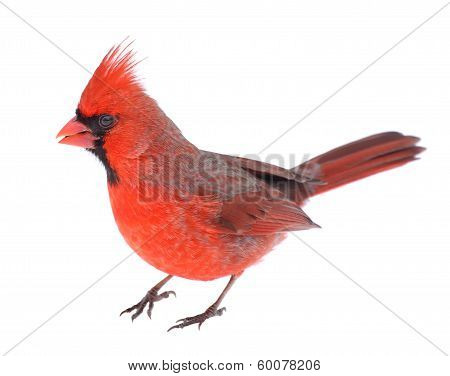 Cardinal Isolated