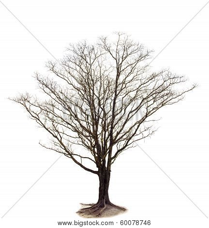 Out Line Of Dry Tree Branch Isolated White Background Use For Decorated In Nature And Plant Garden A