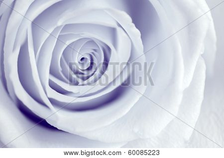 Infrared Rose - Petal Swirls