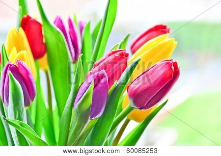 Bright Tulip Flowers