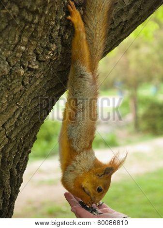 Person feeding a cute fluffy squirrel in the park