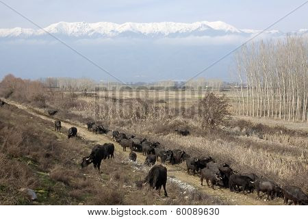 Buffalos In Northern Greece